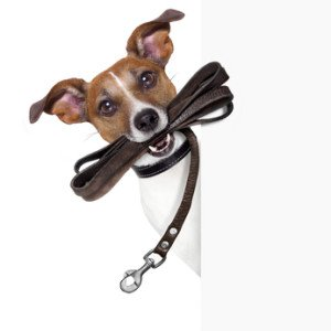 Dog carrying leash on his mouth